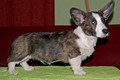 Chris Team FCI, Welsh Corgi Cardigan, hodowla Welsh Corgi Cardigan